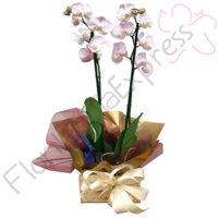 Imagen de Mata de Orquídea Egipto - Arreglos florales para hombre