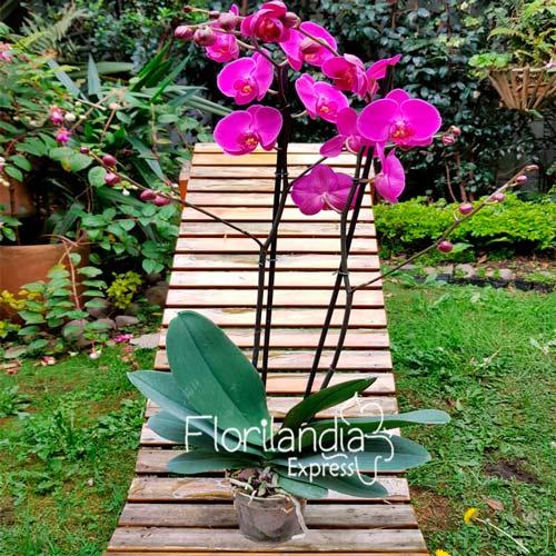 Imagen Mata de orquídea Phalaenopsis a domicilio floristería Florilandia Express Bogotá