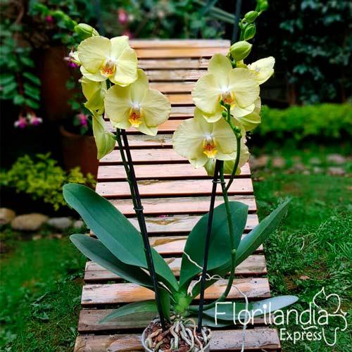 Imagen de Mata de orquídea Phalaenopsis amarilla a domicilio floristería Florilandia Express Bogotá