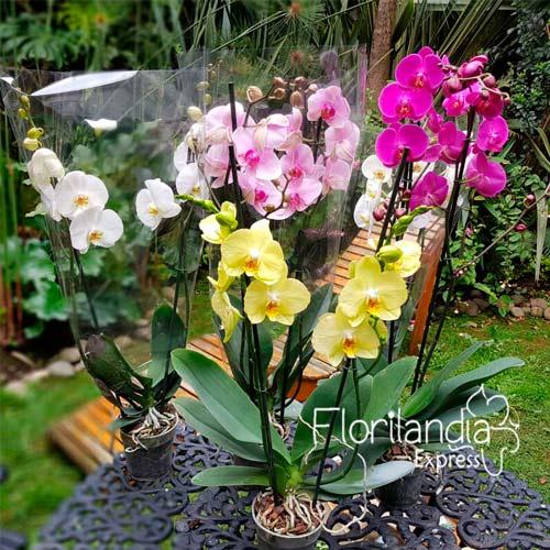 Imagen de Mata de orquídeas Phalaenopsis amarilla a domicilio floristería Florilandia Express Bogotá