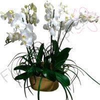 Imagen de Canasta de Orquídeas Buenos Aires - Recuperate pronto arreglos florales en Bogotá a domicilio - Floristerías Florilandia Express