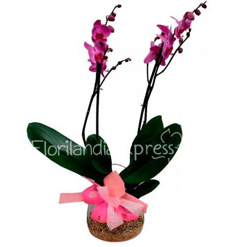Imagen Mata de Orquídea varsovia - floristería a domicilio Florilandia Colombia