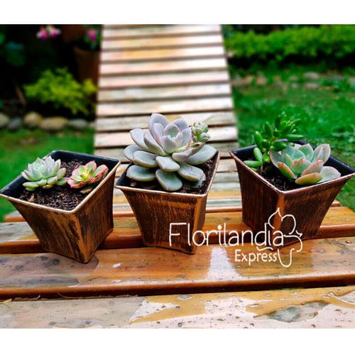 Imagen de Suculentas a domicilio (3 unidades) - Floristerías Florilandia Express Colombia
